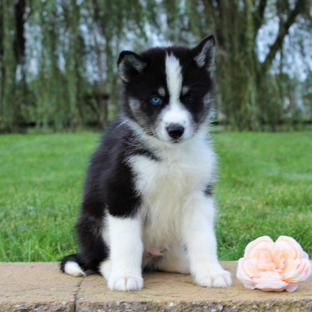 Blake - Husky/Samoyed Mix pup for sale at Gordonville, Pennsylvania