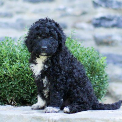 Blu - AKC Portuguese Water Dog