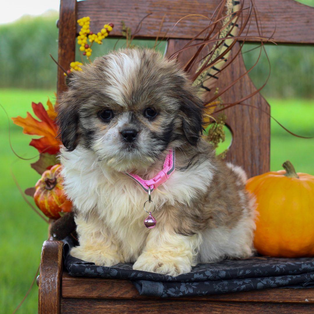 Bonnie - ShihTzu pup for sale in Gordonville, Pennsylvania
