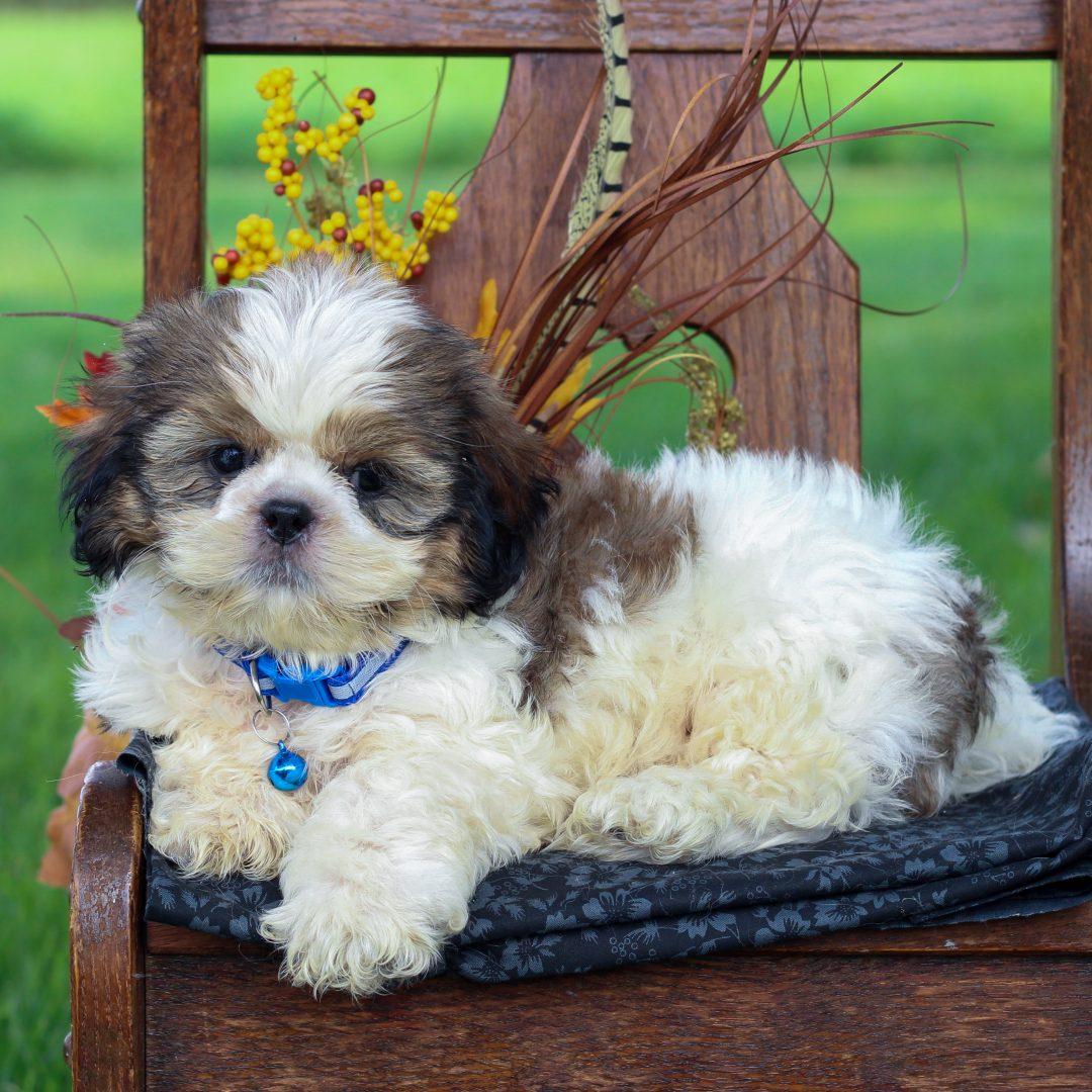 Boston - ShihTzu male doggie for sale in Gordonville, Pennsylvania
