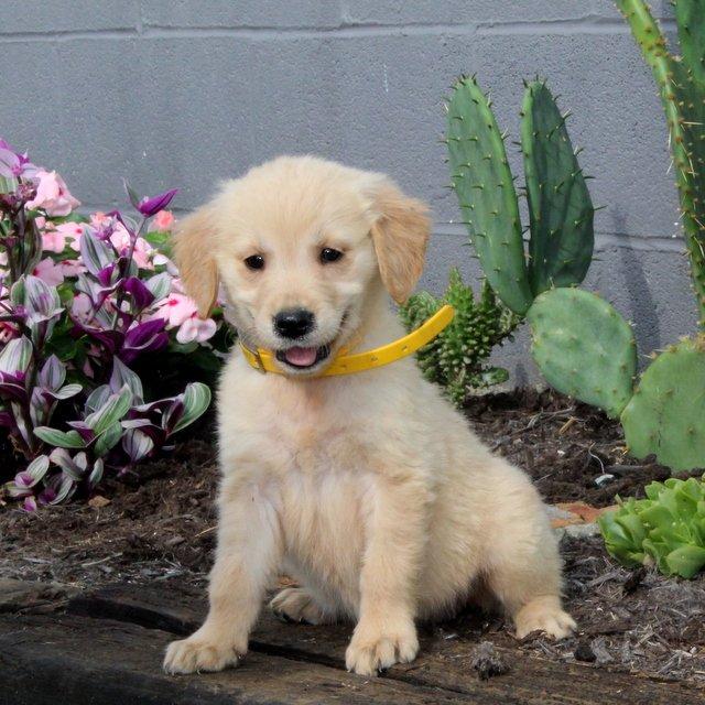 Brandi - Golden Retriever puppy for sale near Christiana, Pennsylvania