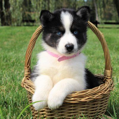 Brit - Husky/Samoyed Mix doggie for sale at Gordonville, Pennsylvania