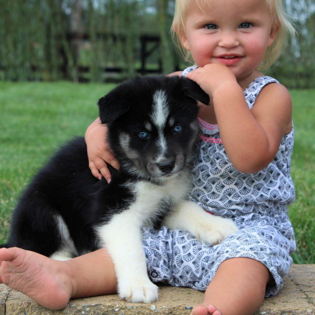 Bruno - Husky/Samoyed Mix puppy for sale in Gordonville, Pennsylvania