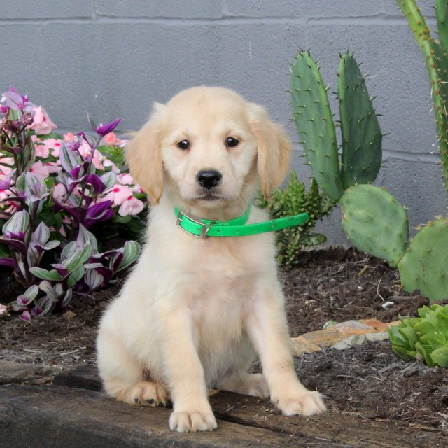 Bubbles - Golden Retriever pup for sale in Christiana, Pennsylvania