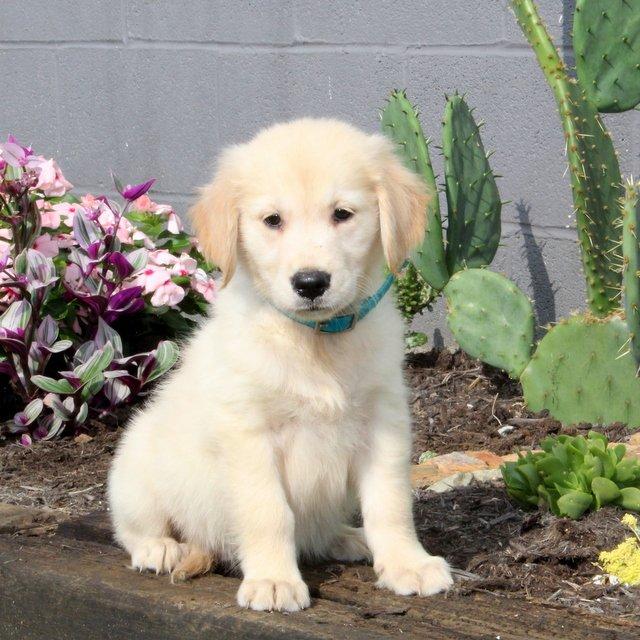 Buster - Golden Retriever puppie for sale near Christiana, Pennsylvania