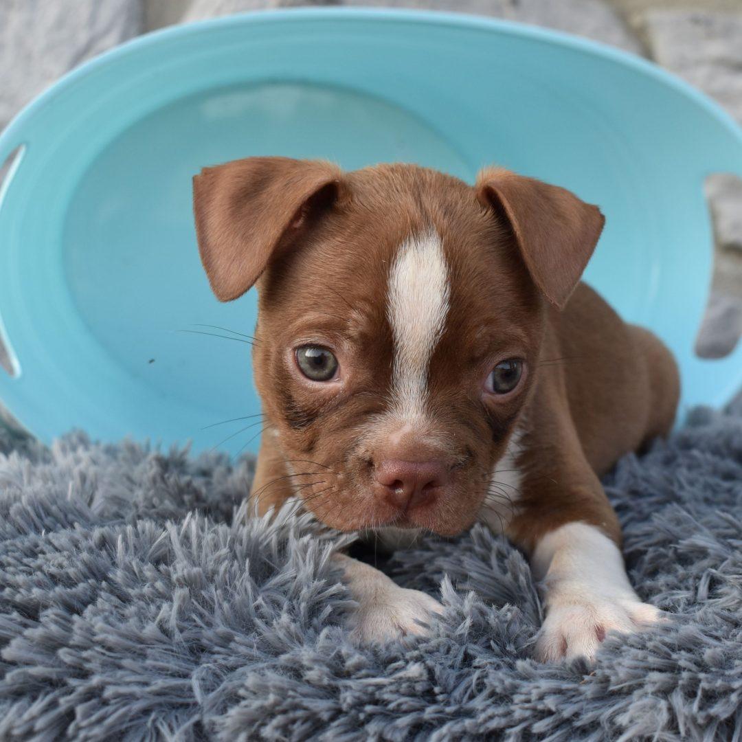 Champ - ACA Boston Terrier puppie for sale at Liverpool, Pennsylvania