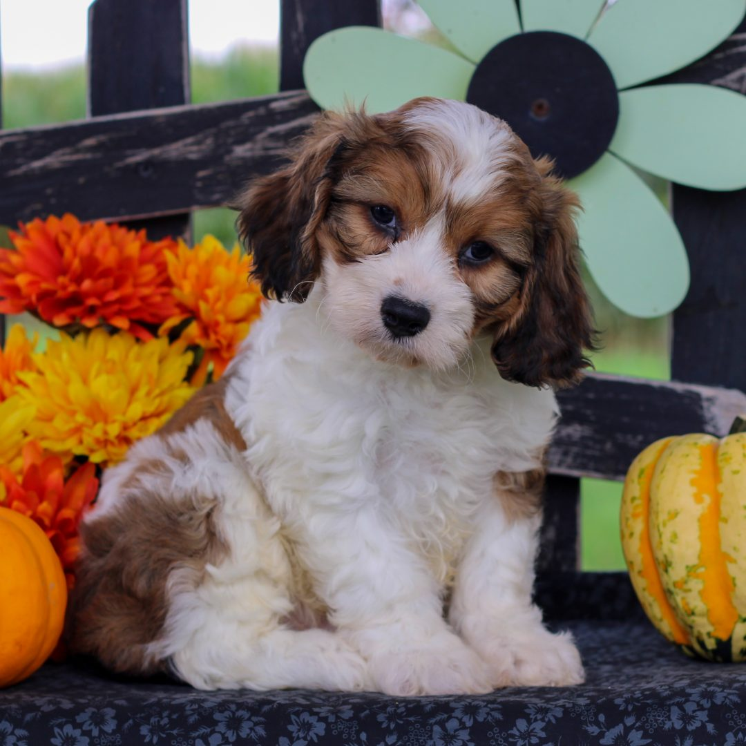 Chuck - f1 Cavachon pup for sale near Gordonville, Pennsylvania
