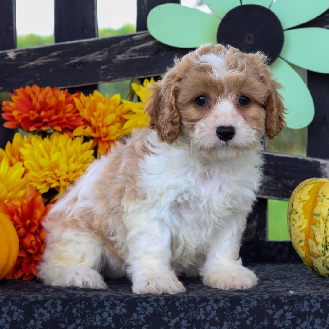 Clara - f1 Cavachon puppy for sale at Gordonville, Pennsylvania