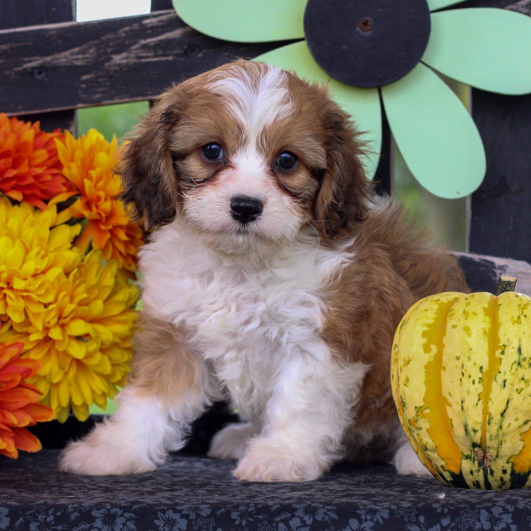 Coral - doggie f1 Cavachon for sale in Gordonville, Pennsylvania