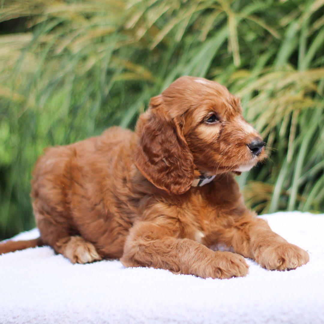Cosmo - F1 Standard Irish Doodle pup for sale near Kinzers, Pennsylvania
