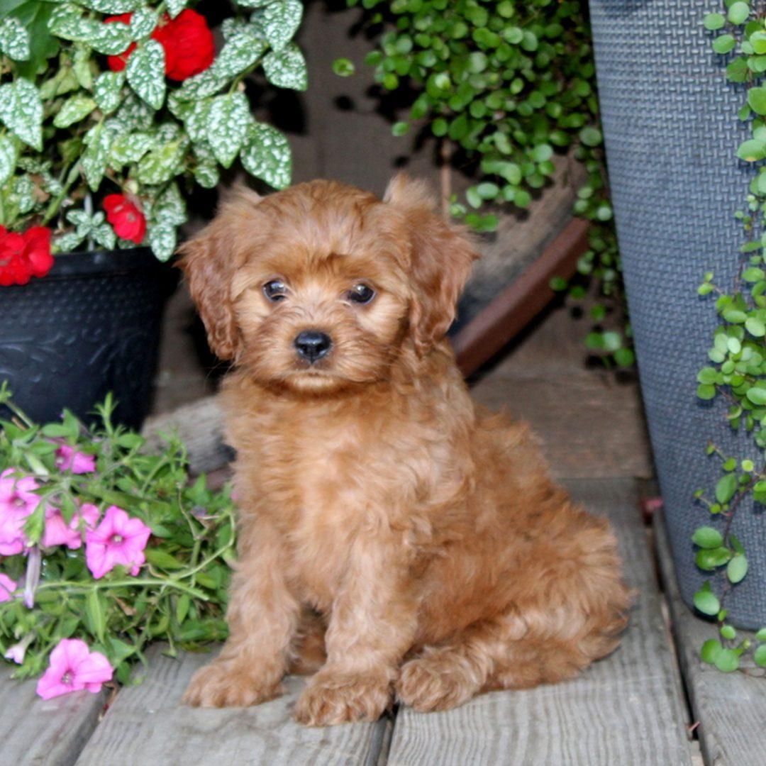 Daisy - f1 Cavapoo female puppy for sale at Quarryville, Pennsylvania
