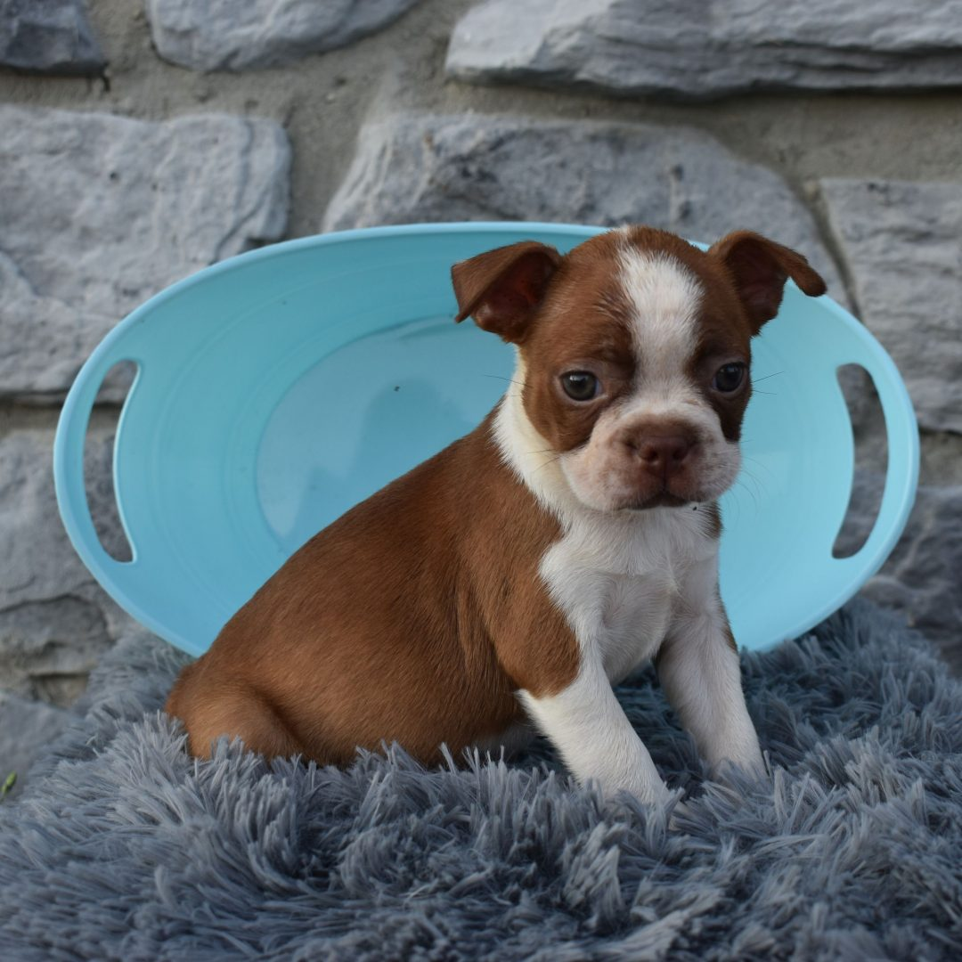 Daisy - ACA Boston Terrier pup for sale near Liverpool, Pennsylvania