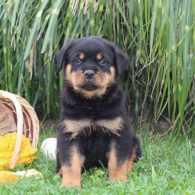 Dakota - AKC Rottweiler