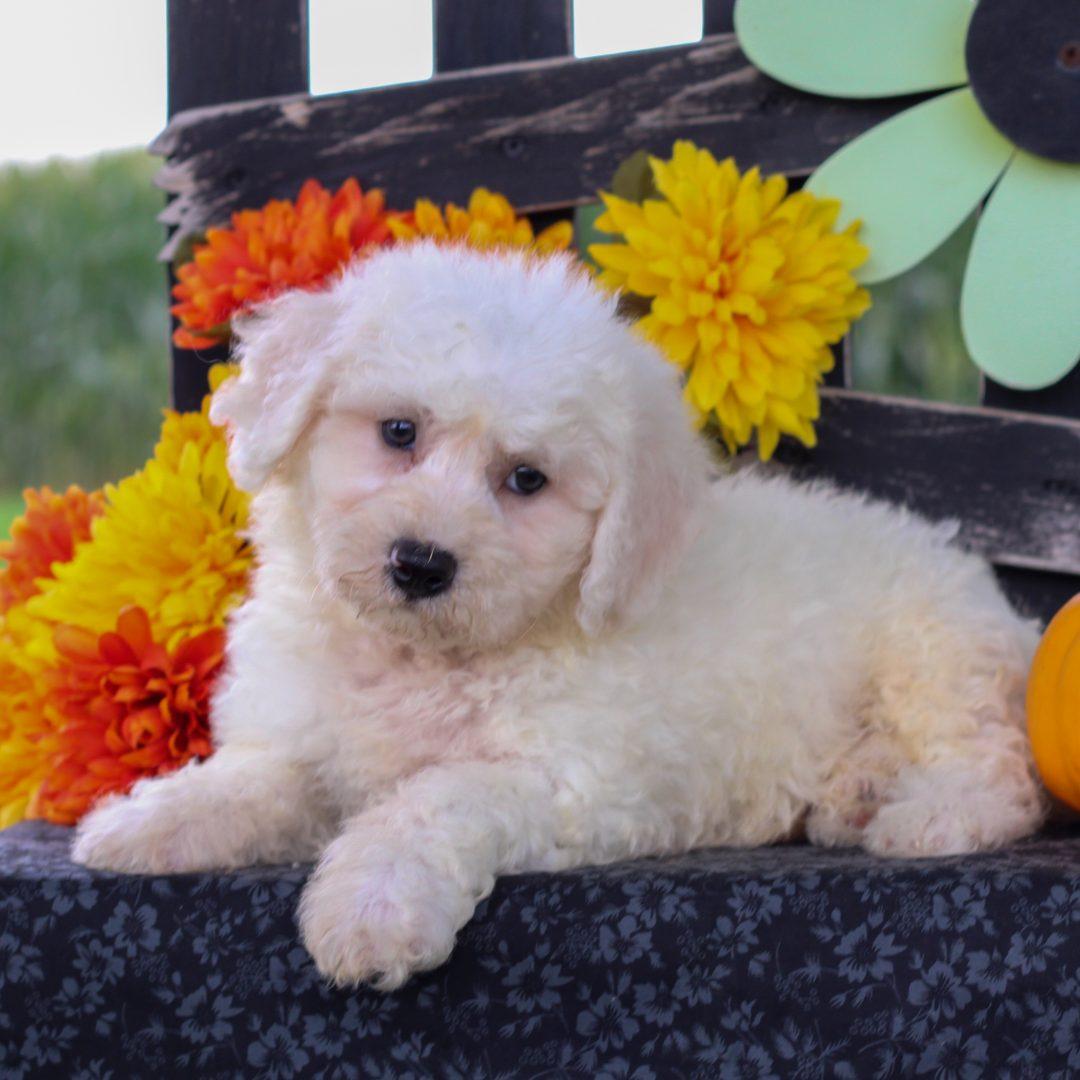 Dakota - Bichon frise pup for sale near Gordonville, Pennsylvania