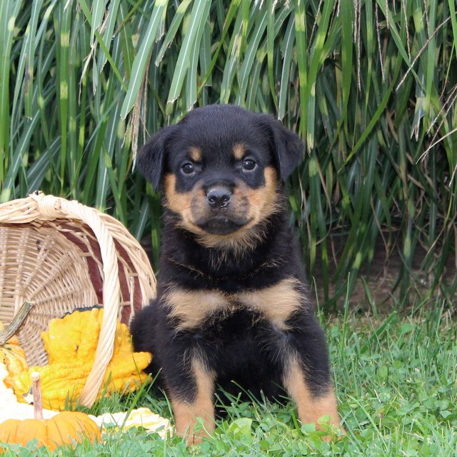 Danielle - AKC Rottweiler pupper for sale at Cochranville, Pennsylvania