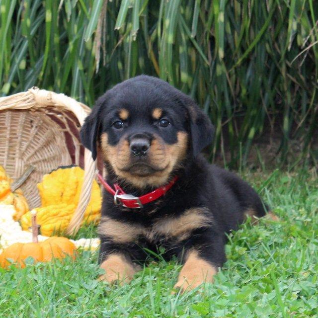 Darla - AKC Rottweiler puppie for sale near Cochranville, Pennsylvania