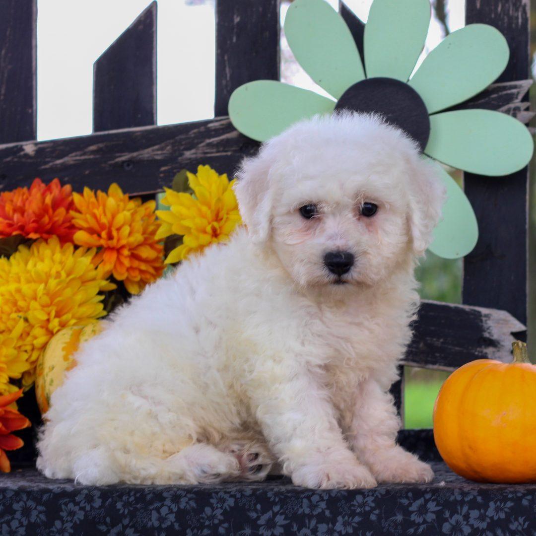 Davy - Bichon frise puppy for sale at Gordonville, Pennsylvania