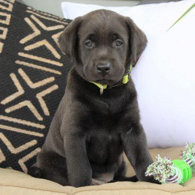 Della - ACA Charcoal Labrador retriever pup for sale at Ephrata, Pennsylvania