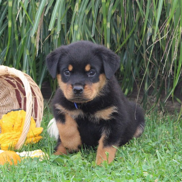 Destiny- AKC Rottweiler doggie for sale in Cochranville, Pennsylvania