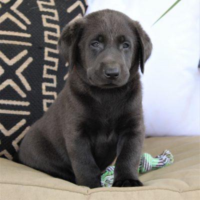 Digger - pupper ACA Charcoal Labrador retriever for sale near Ephrata, Pennsylvania