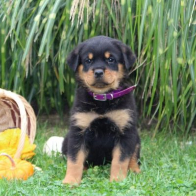 Dixie - puppy AKC Rottweiler for sale at Cochranville, Pennsylvania