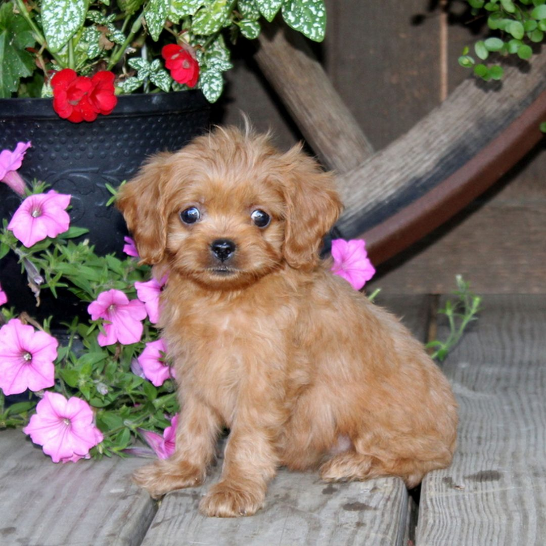 Dolly - f1 Cavapoo female pup for sale near Quarryville, Pennsylvania