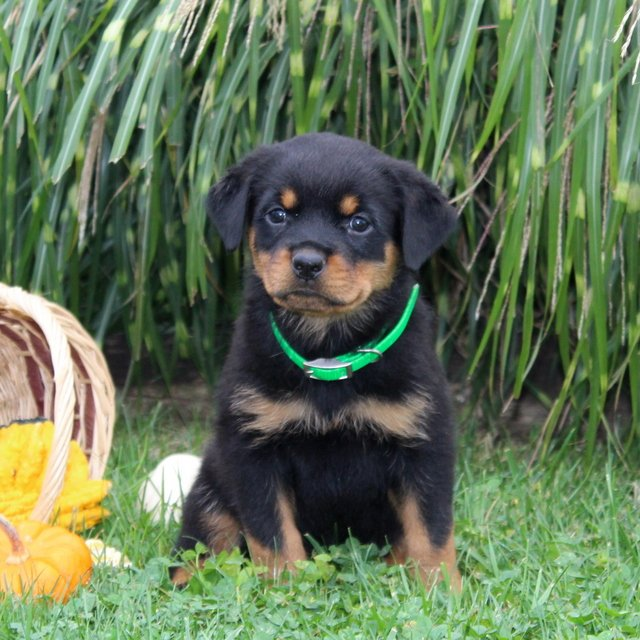 Dolly - AKC Rottweiler pup for sale near Cochranville, Pennsylvania