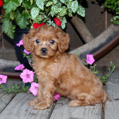 Donald - f1 Cavapoo doggie for sale near Quarryville, Pennsylvania
