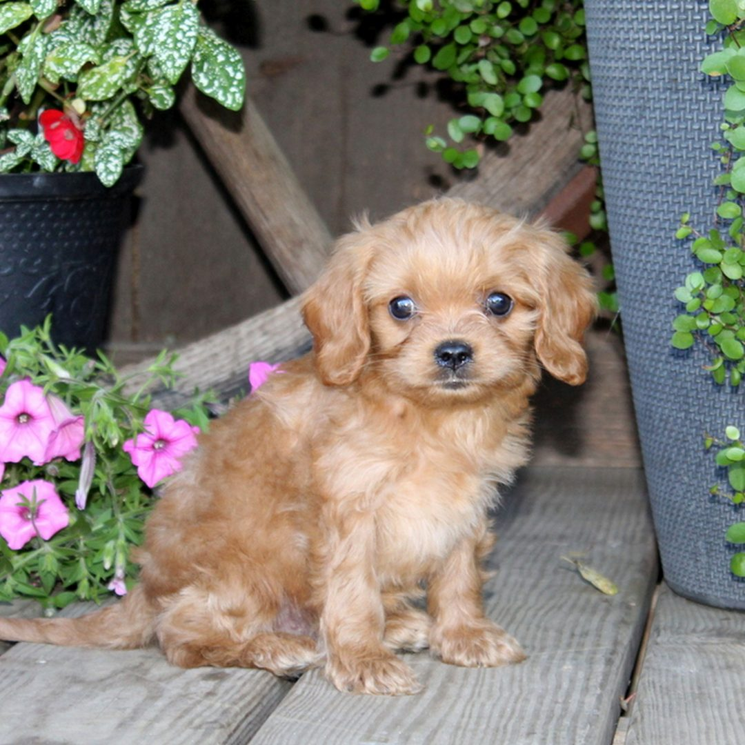 Dunkin - f1 Cavapoo puppy for sale in Quarryville, Pennsylvania