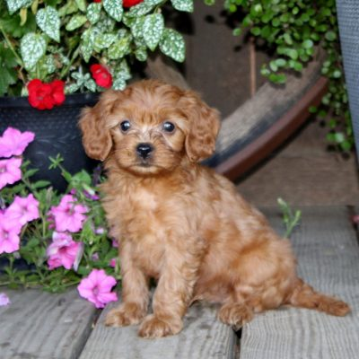 Dusty- f1 Cavapoo pup for sale at Quarryville, Pennsylvania