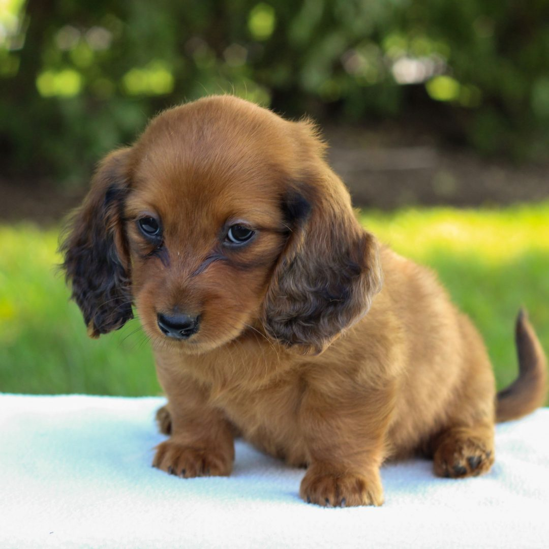 Edison - doggie Mini Dachshund for sale near Gap, Pennsylvania