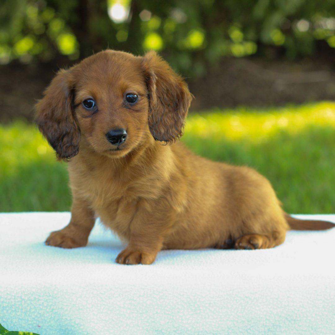 Eliza - Mini Dachshund pup for sale near Gap, Pennsylvania