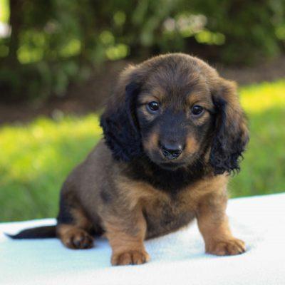 Elliott - Mini Dachshund puppie for sale at Gap, Pennsylvania