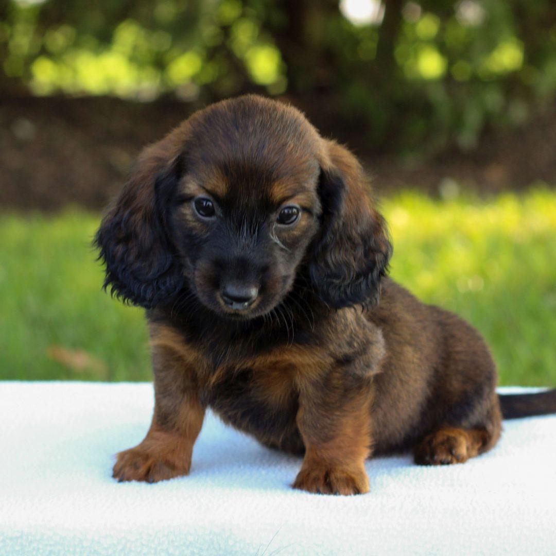 Ezra - Mini Dachshund pupper for sale in Gap, Pennsylvania