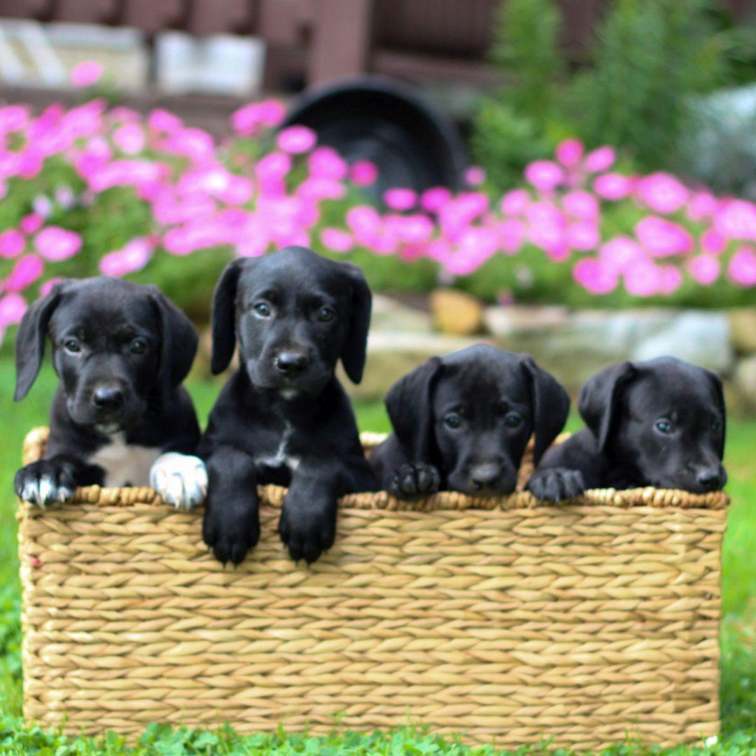 Gia - Borador puppie for sale at Gap, Pennsylvania