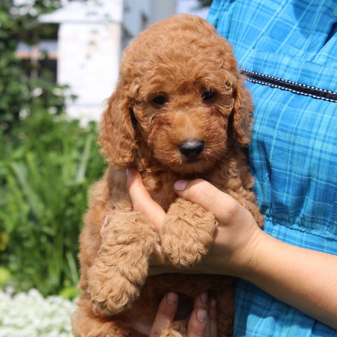 Fina - Mini Goldendoodle pup for sale in New Holland, Pennsylvania