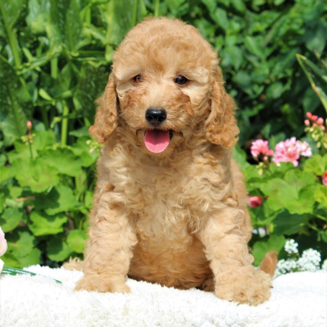Fraya - female Mini Goldendoodle puppie for sale near New Holland, Pennsylvania