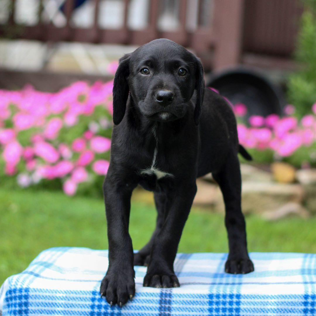 Galaxy - Borador pup for sale near Gap, Pennsylvania