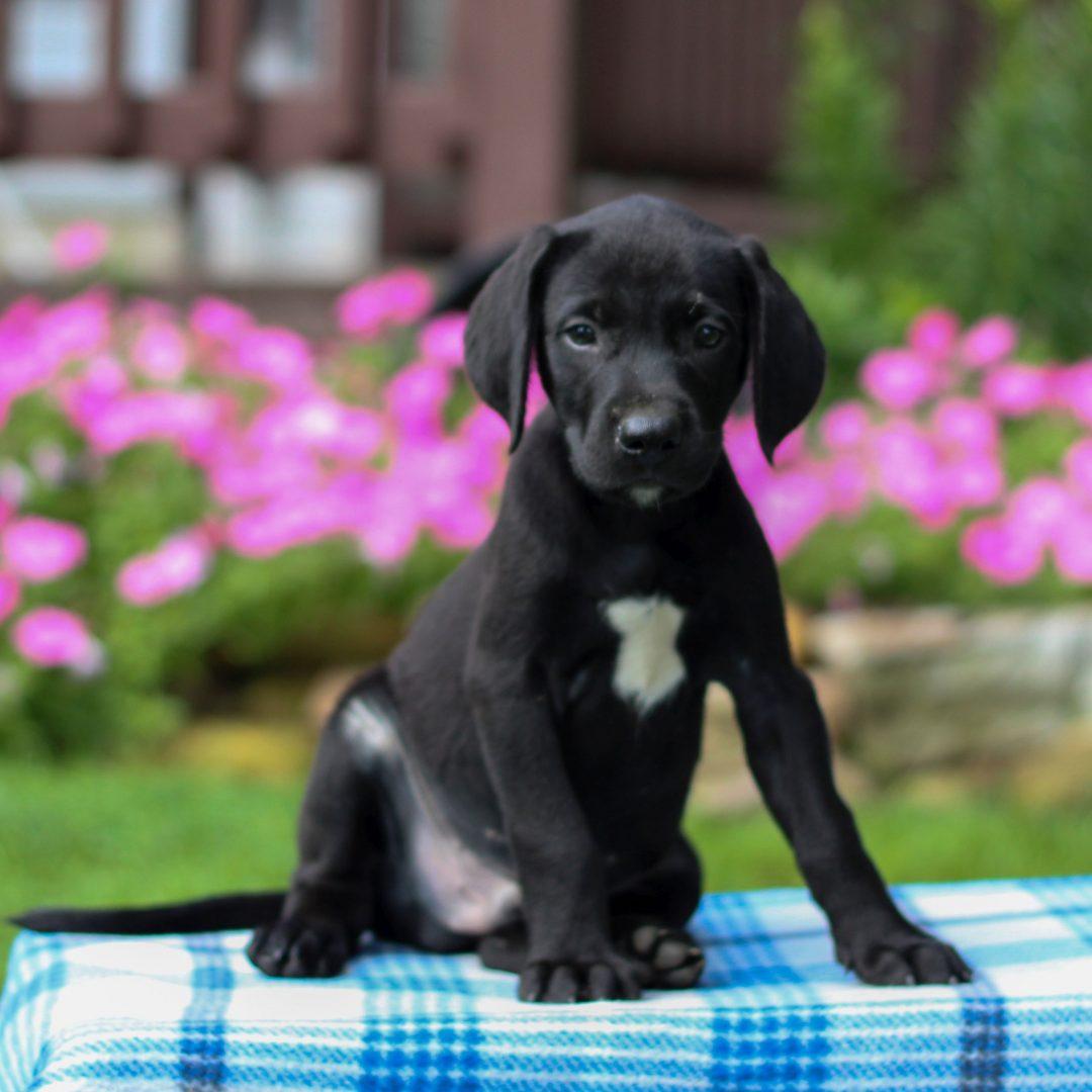 Gaston - Borador puppie for sale at Gap, Pennsylvania