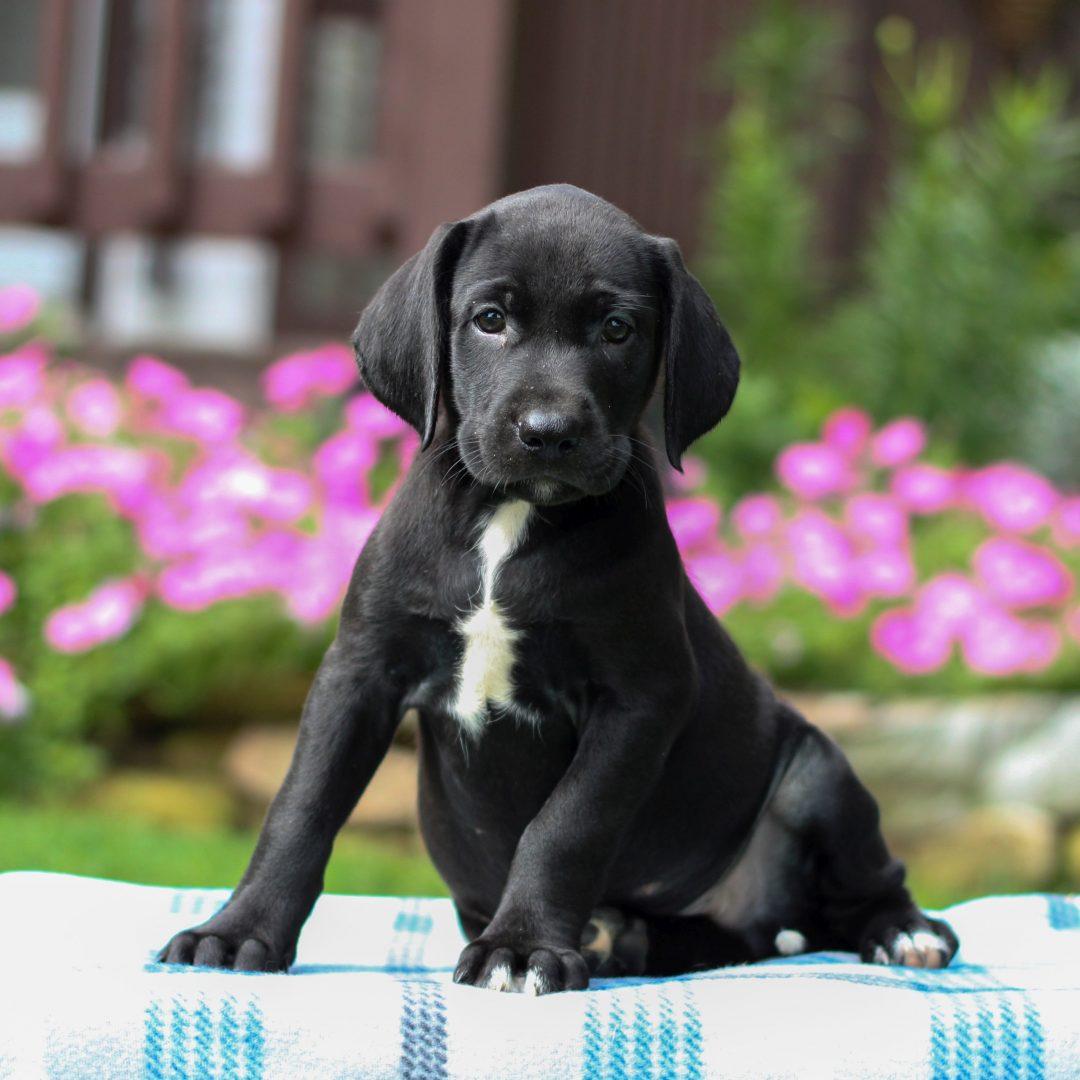 Gauge - Borador doggie for sale near Gap, Pennsylvania