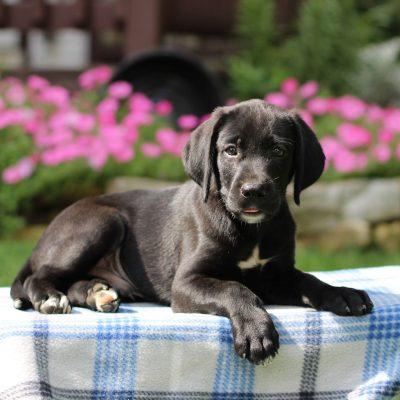 Gavin - Borador puppy for sale in Gap, Pennsylvania