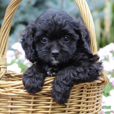 George - f1 Cavapoo puppie for sale in Gordonville, Pennsylvania