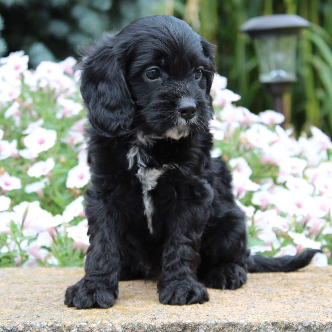 Greg - f1 Cavapoo doggie for sale at Gordonville, Pennsylvania