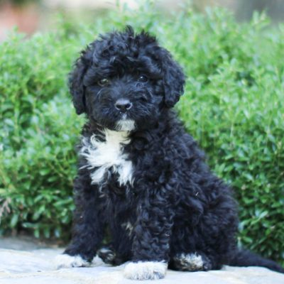 Griffin - AKC Portuguese Water Dog puppy for sale near Lancaster, Pennsylvania