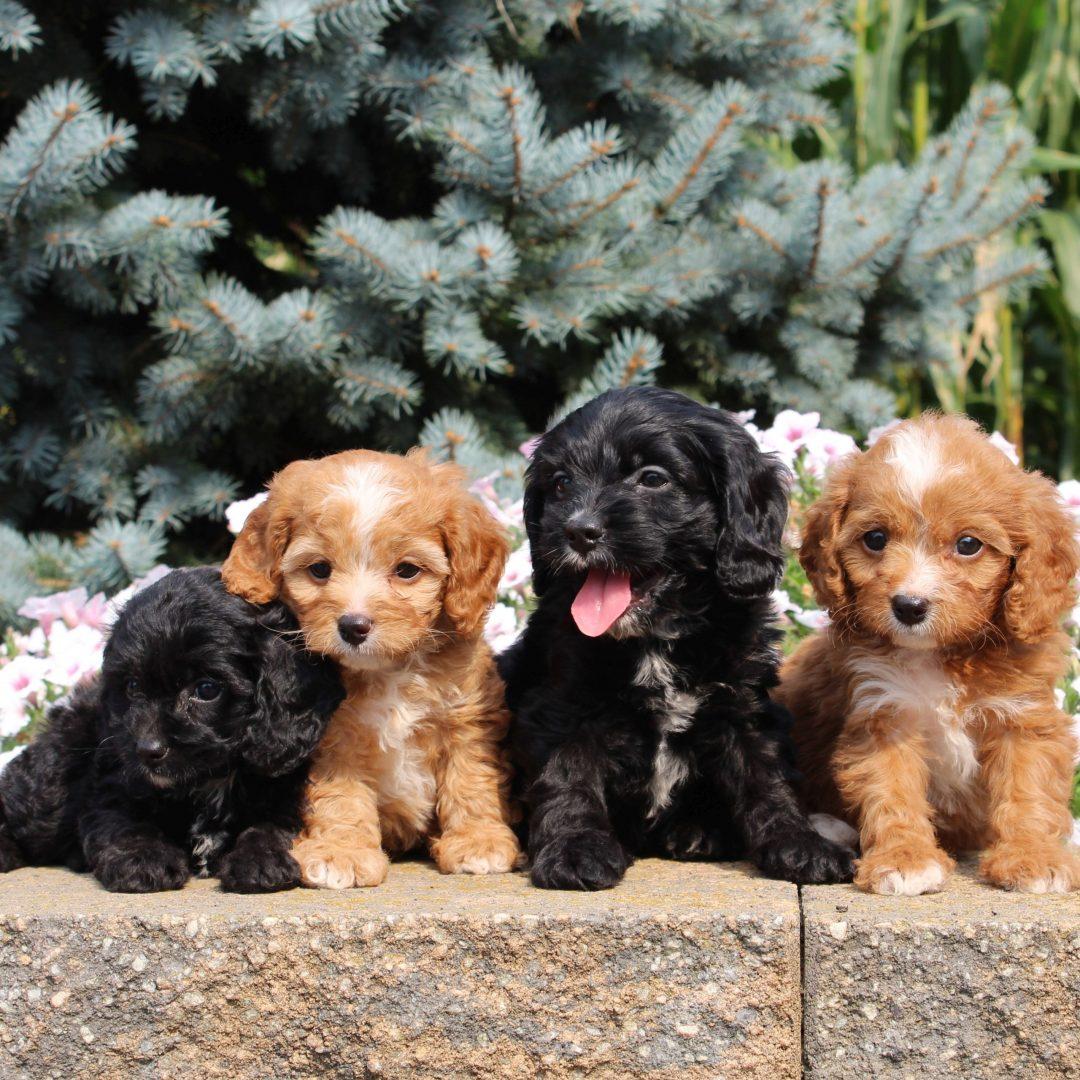 Gabby - f1 Cavapoo pup for sale at Gordonville, Pennsylvania