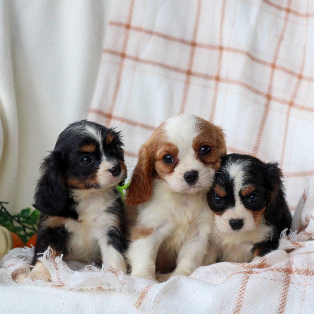 Jace - ACA Cavalier King Charles Spaniel pup for sale in Honey Brook, Pennsylvania