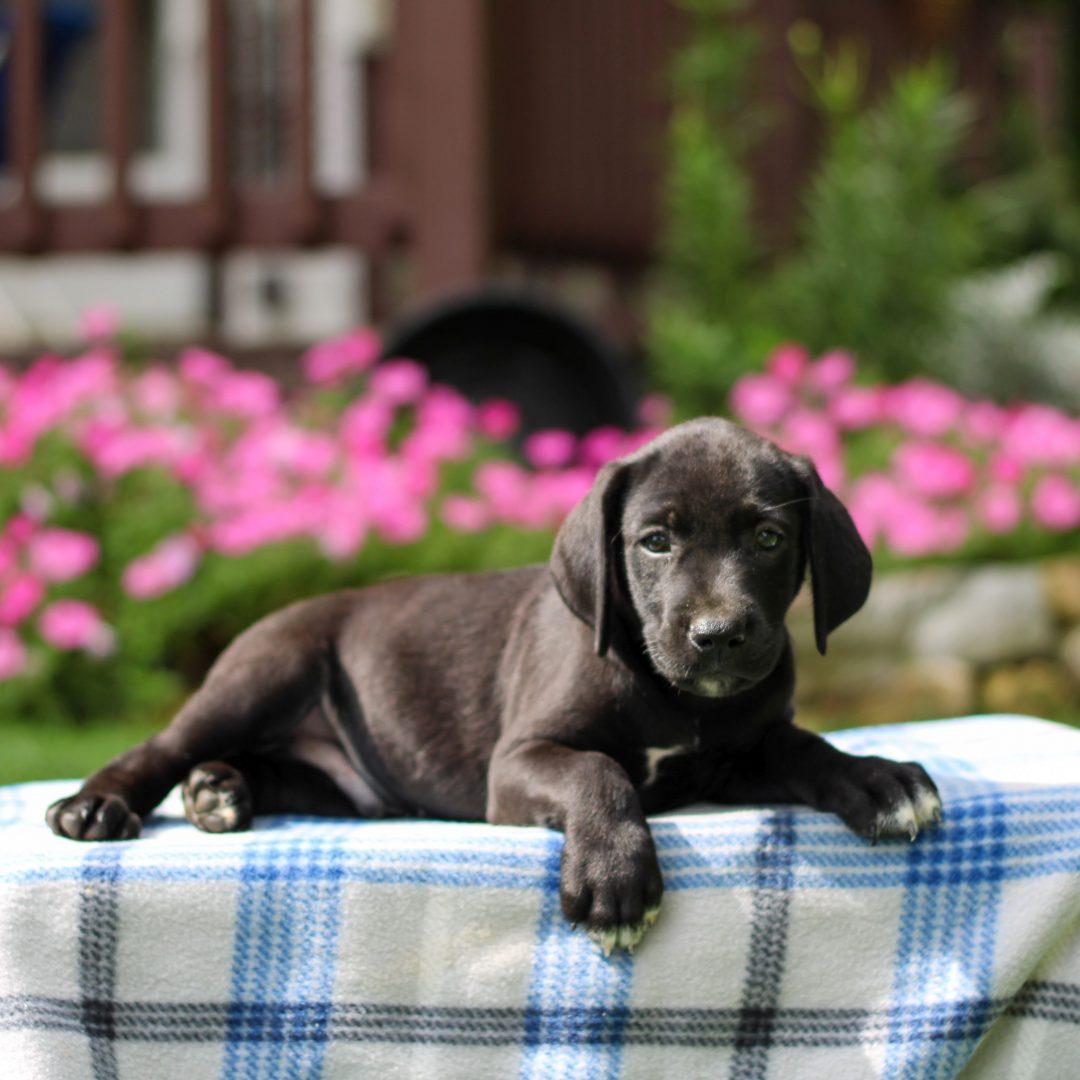 Gunner - Borador pup for sale at Gap, Pennsylvania
