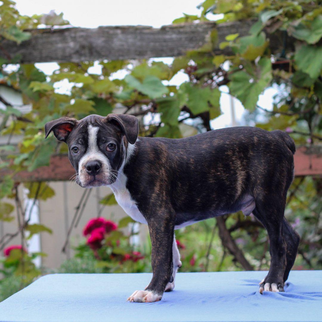 Harlin - Boston Terrier pupper for sale in Lebanon, Pennsylvania