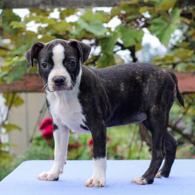 Harmony - Boston Terrier puppy for sale at Lebanon, Pennsylvania