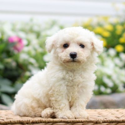 Hayes - Bichon Frise puppy for sale in Narvon, Pennsylvania